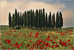 Un Classico Toscano (carlo tardani) Tags: panorama landscape flora colore siena montalcino toscana papaveri gmt ambiente cipressi nikond80 allxpressus bestcapturesaoi magicunicornverybest tripleniceshot mygearandmegold mygearandmediamond blinkagain sullacassia flickrstruereflection1 flickrstruereflection2 flickrstruereflection3 flickrstruereflection4 flickrstruereflection5 flickrstruereflection6 flickrstruereflection7 flickrstruereflectionexcellence trueexcellence1 trueexcellence2 trueexcellence3 rememberthatmomentlevel4 rememberthatmomentlevel1 rememberthatmomentlevel2 rememberthatmomentlevel3 rememberthatmomentlevel5 rememberthatmomentlevel6