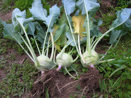 kohlrabi-just-plucked