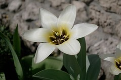 A wide open tulip in mama's yard (Go 4 IT) Tags: flower macro nature yellow closeup yard insect outdoor tulip kit 365 amateur chisinau k7 kitlenses beautifulshot lensespentax pentaxk7 evghenitirulnic
