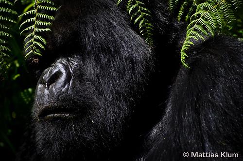 mountain_gorilla_4_Rwanda