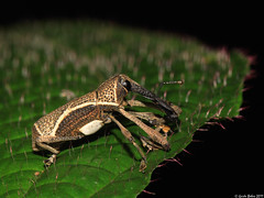 Weevil with funny legs (gbohne) Tags: macro canon insect indonesia java rainforest flash beetle insects tropical beetles insekt animalia arthropoda insekten kfer unidentified coleoptera insecta regenwald curculionidae halimun weevils identified pterygota rsselkfer dipterocarpaceae specinsect taxonomy:class=insecta taxonomy:order=coleoptera taxonomy:family=curculionidae taxonomy:phylum=arthropoda taxonomy:subclass=pterygota taxonomy:suborder=polyphaga taxonomy:superfamily=curculionoidea geo:country=indonesia 100mmf28canon taxonomy:subphylum=hexapoda geo:region=asia taxonomy:genus=alcidodes taxonomy:subfamily=molytinae taxonomy:tribus=mecysolobini