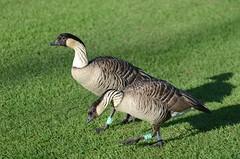 Hawaiian Geese or Nn (Branta sandvicensis) DSC_1130 (NDomer73) Tags: bird hawaii december goose nenegoose nene 2010 hawaiiangoose hawaiiannenegoose 30december2010