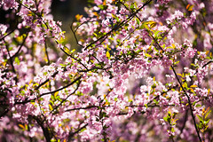 Cherry Blossom (snillumluap) Tags: china yunnan