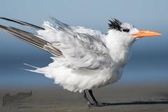 Banded Royal Tern 9_22 2 (krisinct- Thanks for 12 Million views!) Tags: nikon d500 500 f4 vrg