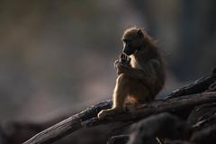Back light Baboon! (Jambo53 (catching up)) Tags: chobe kasane botswana robertkok jambo53 wildlife nature aap baboon chacmababoon animal beest backlight tegenlicht monkey mammal zoogdier africa nikond700 nikkor600mmf40