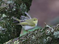 Wood Warbler (AndydS6) Tags: woodwarbler halligarth unst shetland