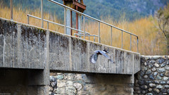 Martín Pescador (Piba Del Sur *) Tags: pajaro ave bariloche patagonia argentina bosque vuelo martin pescador cresta piedra baranda street alas pico oxido césped
