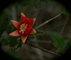 Pomegranate Flower at Dawn (Chic Bee) Tags: predawn pomegranate flower heritagepomegranatevariety dark todarktofocus tucson arizona usa americansouthwest