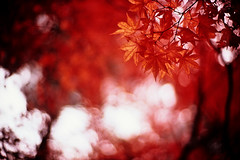 Days of promise (moaan) Tags: life leica november autumn red color scarlet 50mm glow dof bokeh diary f10 momiji japanesemaple utata glowing noctilux m3 hue tinted 2010 fujivelvia100 tinged rvp100 leicam3 autumnaltints inlife leicanoctilux50mmf10 diaryofnovember gettyimagesjapanq1 gettyimagesjapanq2