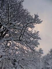 Snow on trees November 2010 Grantown on Spey DSCF0306 (Aerial & Press Imaging) Tags: snow scotland editorial grantownonspey cairngormnationalpark grantown speyvalley treesnow scottishwinter november2010