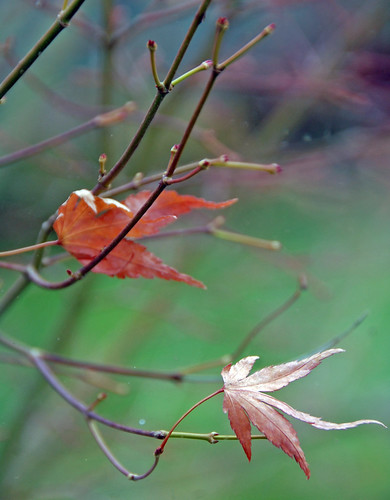 Japanese Maple at Thanksgiving