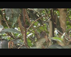 Henicorhyna leucophrys (Gray-breasted Wood-Wren) (Arthur Chapman) Tags: video costarica leucophrys savegre sangerardodedota graybreastedwoodwren taxonomy:order=passeriformes taxonomy:class=aves taxonomy:kingdom=animalia taxonomy:phylum=chordata taxonomy:family=troglodytidae geocode:method=googleearth geocode:accuracy=500meters geo:country=costarica geo:region=centralamerica henicorhyna henicorhynaleucophrys taxonomy:genus=hemicorhyna taxonomy:binomial=henicorhynaleucophrys taxonomy:common=graybreastedwoodwren