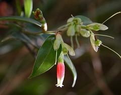 Cavendishia bracteata (Ericaceae)