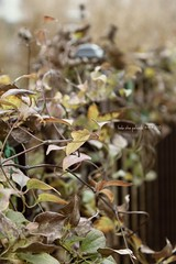 swirling vines with fence | happy fence friday (sidemtess | linda) Tags: november fence friday 2010 wheeeee hff fench sidemtess fencefriday fenchfriday