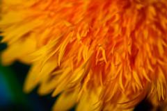 Frayed (Raoul Pop) Tags: flowers summer macro canon flickr seasons romania moldova smugmug frayed canoneos5d googlephotos strugari