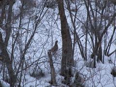 RUFFED GROUSE (Aquila-chrysaetos) Tags: snow ice birds frozen utah wasatch grouse aves b1 bonasa galliformes umbellus birdsone