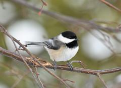 Cantigny 28 (Jan Crites) Tags: park winter bird illinois nikon chickadee perch wheaton cantigny d90