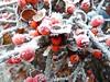 Berry Frozen. (Church Mouse 07) Tags: uk winter ice nature freezingfog lumix december panasonic british 2010 redberries inmygarden dmcfz28 minus4 churchmouse07 cotoneasterbush