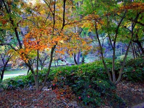 Maples, The Japanese Garden
