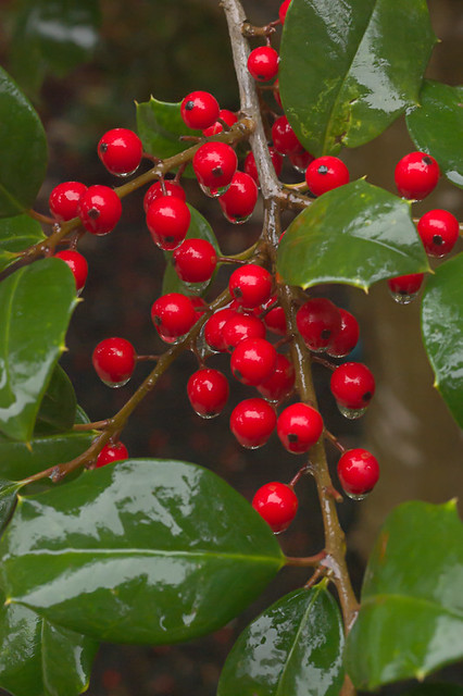 Missouri Botanical Garden (Shaw's Garden), in Saint Louis, Missouri, USA - holly berries