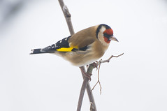 Goldfinch (Carduelis carduelis) in a Rowan Tree in the Snow (Steve Greaves) Tags: family winter food white snow cold tree bird nature niger countryside frozen december adult feeding bokeh wildlife thistle goldfinch feathers seed freezing aves naturalhistory parent finch perch british perched snowing backlit feed common rowan avian fledgling parental backlighting mountainash hedgerow plumage northengland perching cardueliscarduelis europeangoldfinch specanimal nikond300 globalbirdtrekkers nikonafsii400mmf28ifedlens