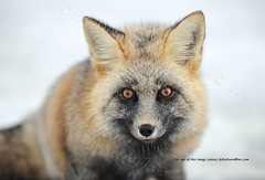 Now that I've gotten your attention... (Deby Dixon) Tags: mountain snow tourism nature photography washington nationalpark eyes travels nikon wildlife explore fox cascades wilderness adventures mtrainier frontpage deby allrightsreserved fuchs 2010 redfox mtrainiernationalpark naturephotographer luckyfind specanimal debydixon debydixonphotography iwasholdingmybreath