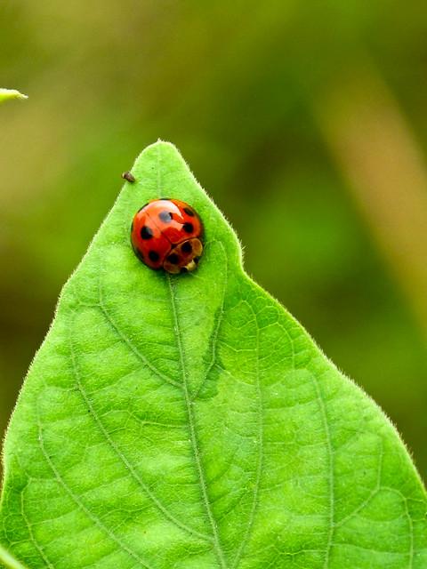 IMG_0684 Ladybird