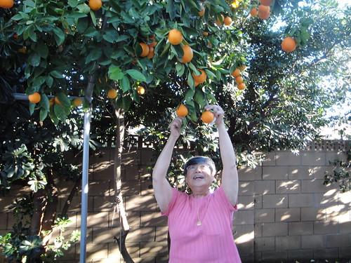 Auntie Lina picks tangelos