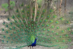Indian Peacock dancing in the jungle. (Saran Vaid) Tags: show blue portrait india color detail male green bird eye texture nature beautiful beauty animal forest circle walking design colorful pretty pattern dancing natural bright display pheasant vibrant background wildlife indian tail wing beak feather peacock pride jungle fowl elegant mate brilliant strut avian peafowl peahen plumage courtship flaunt ranthambhore birdphotography