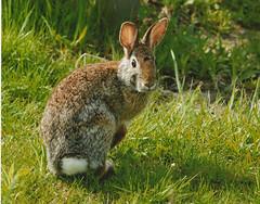 [フリー画像] 動物, 哺乳類, ウサギ科, 兎・ウサギ, 201012220100