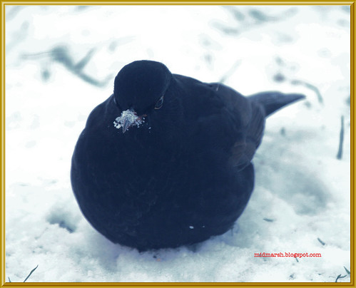 Blackbird in the Snow