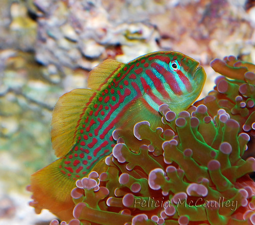 Coral GOby