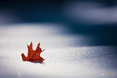 Merry X'mas~ (Explored) (Ziyan | Photography) Tags: winter red snow canada canon leaf maple canon5d ziyan canonef70200mmf28lisiiusm