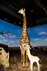 "Giraffe in Chinese science and technology museum in Beijing • <a style=""font-size:0.8em;"" href=""http://www.flickr.com/photos/29931407@N00/5286349284/"" target=""_blank"">View on Flickr</a>"