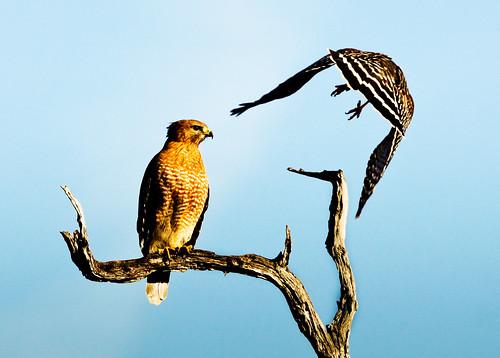 フリー写真素材, 動物, 鳥類, タカ科,