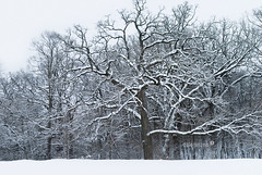 Snowy Oak (DAJanzen) Tags: trees winter snow peaceful overcast serene quite christmasmorning barebranches intheneighborhood walkingthedog almostmonochromatic nikond200 exceptforthesnow