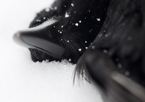 December Crow II