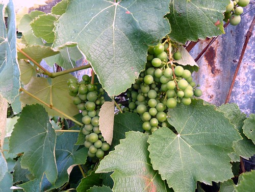 Martinbourgh Grapes