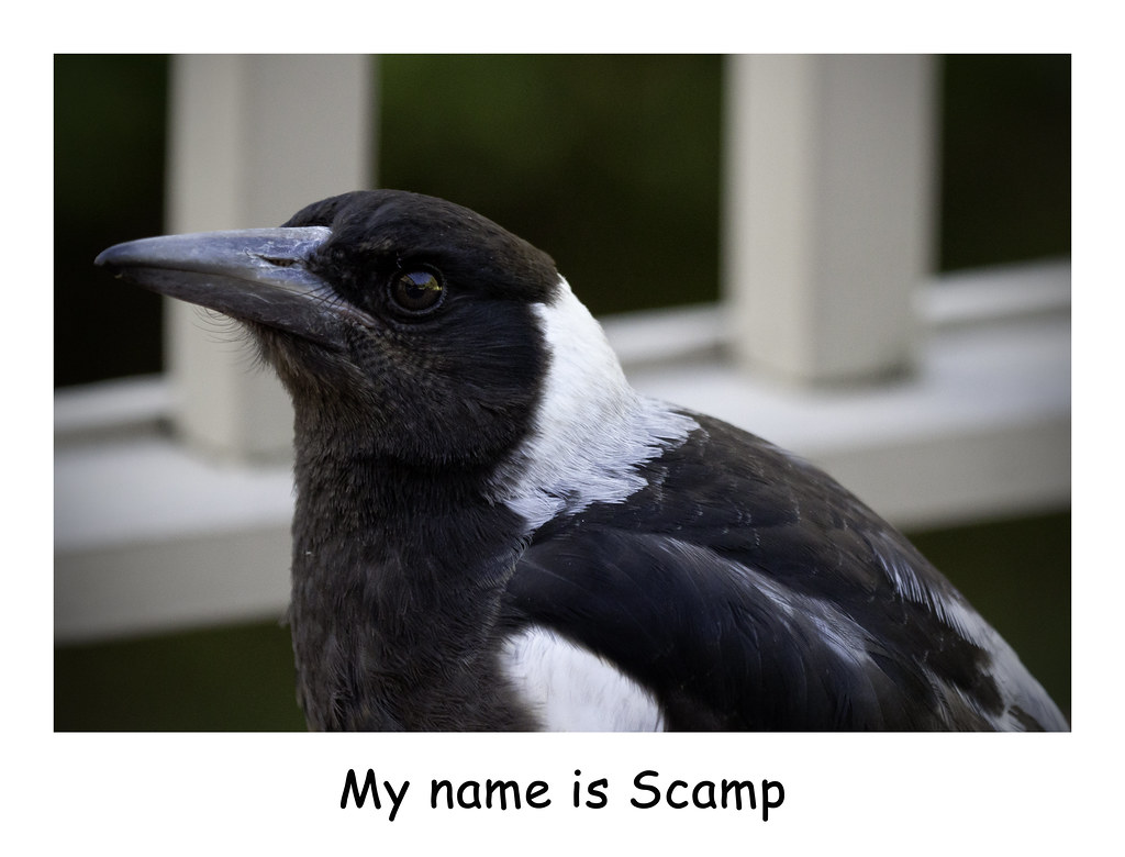 Baby magpie