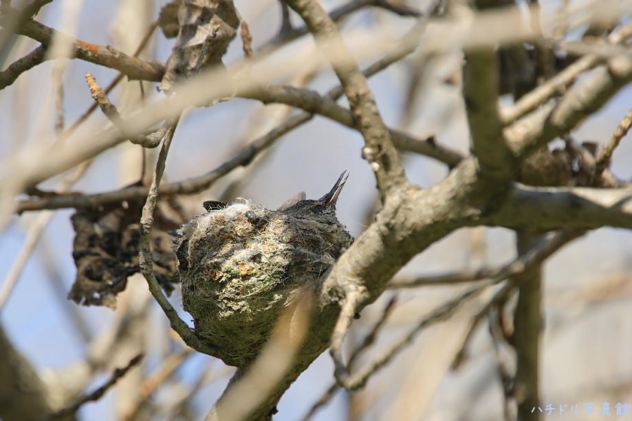 Anna's Hummingbird nest 0210100123010