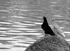 Yin Yang (Andressa Rafaela) Tags: brazil two bw black bird love birds animal brasil fauna fcc fotograf amor sopaulo sony pb brasilien pombo preto yang sp animales lagoa yinyang yin cps pedra campinas animale brasile fotgrafo  tier h20 fotografo dois pombas brasiliano brasileo olhando taquaral pombinhos campineiro brasilianischer lagoadotaquaral campineira sonydsch20 andressarafaela olhandoparaafotgrafa abouttabs