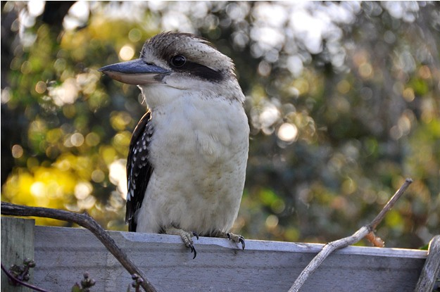 2010 July Kookaburra