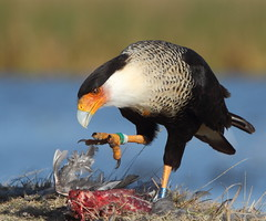Grab what you can (Hammerchewer) Tags: carrion coot crestedcaracara