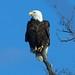eagle 662