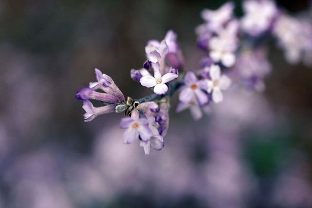 lilac_variety