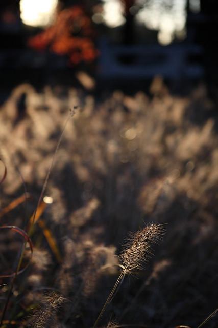 晩秋の穂先