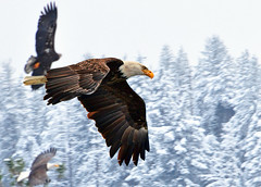 Fly the Friendly Skies (Deby Dixon) Tags: winter love nature this inflight nikon eagle wildlife pic idaho explore raptor frontpage deby coeurdalene allrightsreserved 2010 baldeagles debydix