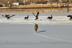 Coyote chasing geese 4 (colographicalchemy I'm back) Tags: coyote canadageese coloradowildlife