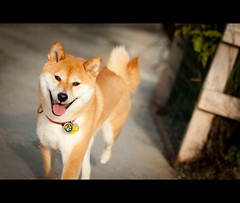 Freedom! (kaoni701) Tags: sf sanfrancisco portrait dog cute project puppy japanese nikon action running suki shibainu shibaken  2011 d700 printgiveaway 70200f28vrii jonathanflemingphotography