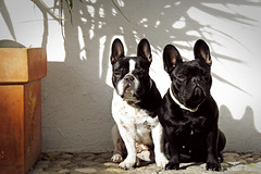 . (susilalala) Tags: dog altea frenchbulldog conchita nuka bulldogfrances susilalala